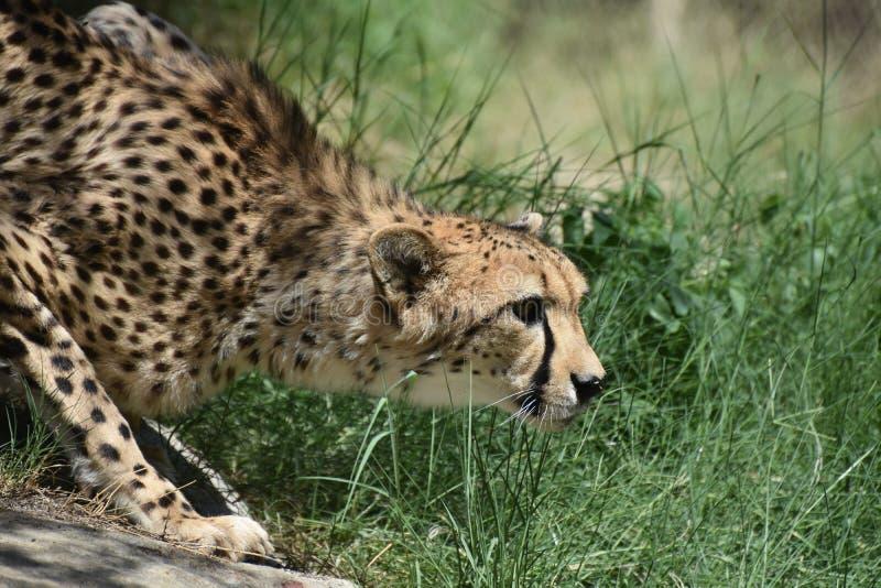 Het gladmaken van het Buigen Jachtluipaard Cat Prowling in Gras royalty-vrije stock afbeelding