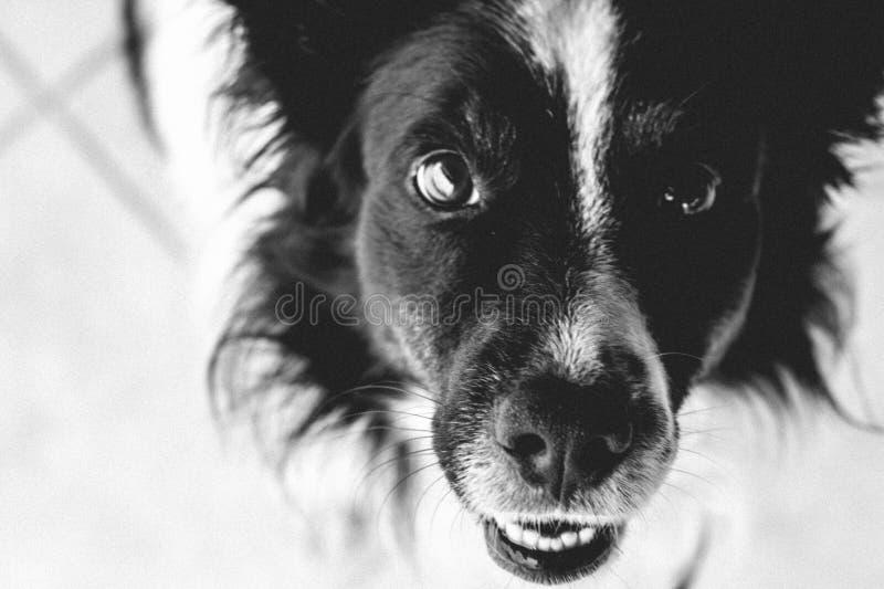 Het glimlachen Grens Collie Dog royalty-vrije stock afbeelding
