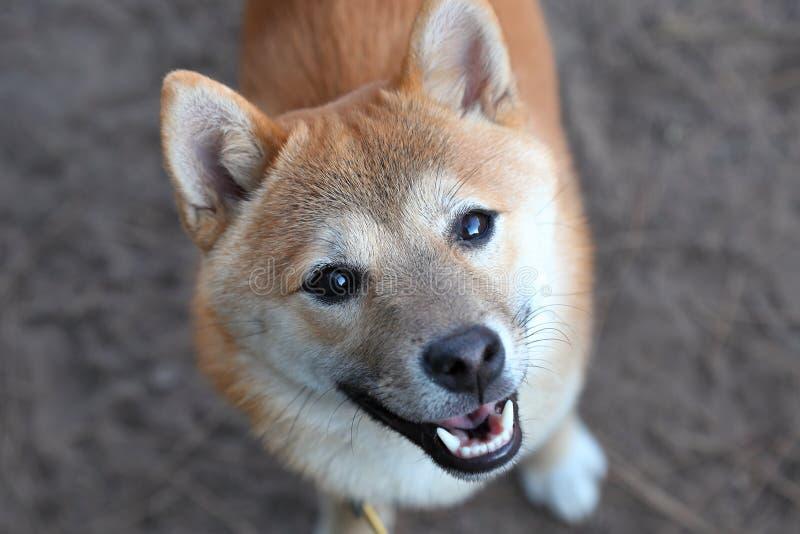 Het glimlachen Shiba Inu stock foto