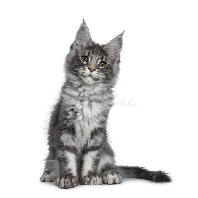 Het glimlachen van blauw zilveren Maine Coon-kattenkatje op witte achtergrond royalty-vrije stock fotografie