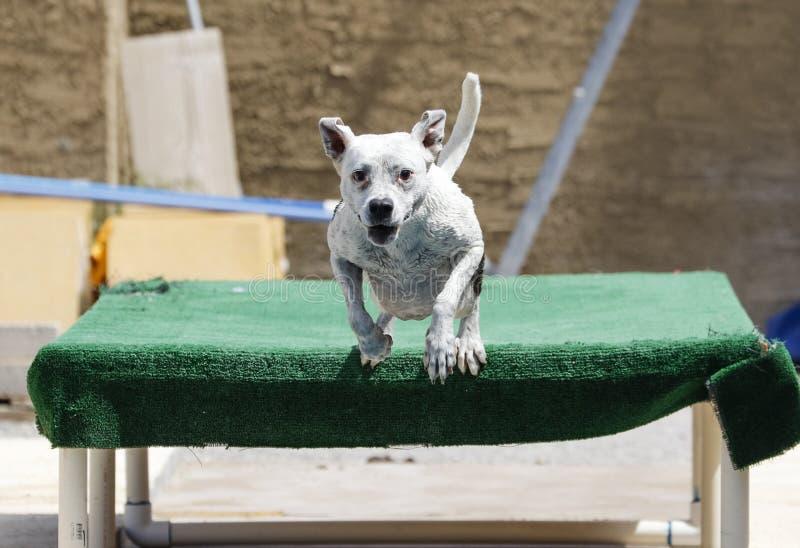Het glimlachen van hond die van een dok springen royalty-vrije stock foto