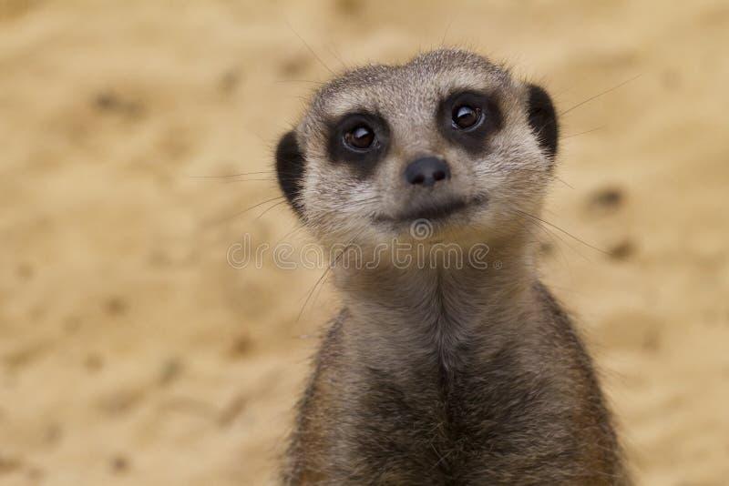 Het glimlachen van Meerkat royalty-vrije stock afbeeldingen