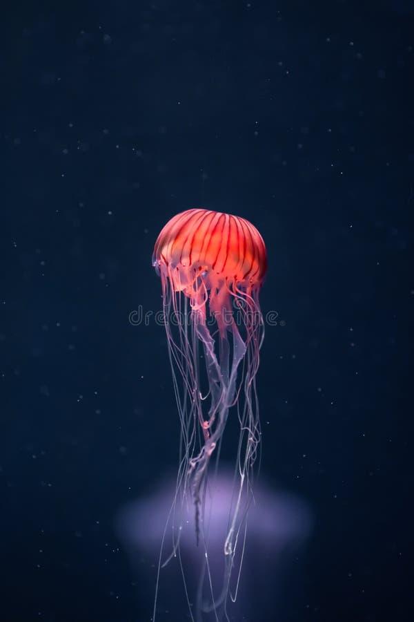 Het gloeien pacifica van kwallenchrysaora onderwater stock afbeelding