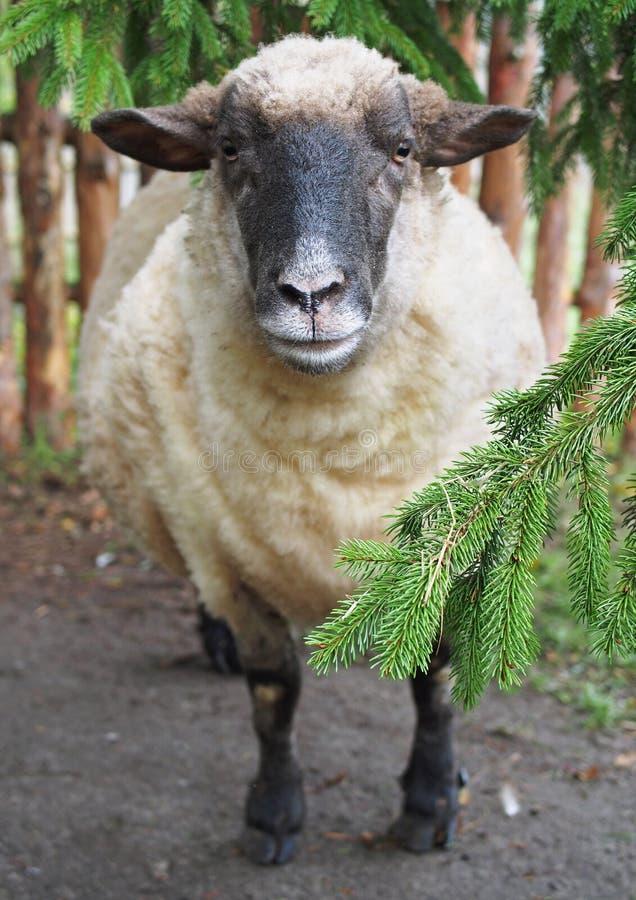 Het goed-gevoede de schapenportret van Suffolk stock afbeelding