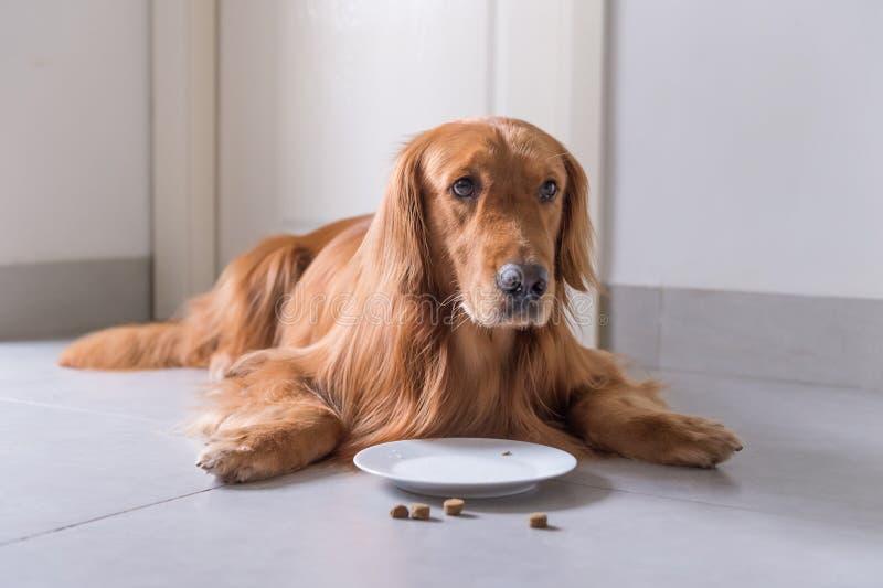 Het golden retriever, legt op de vloer om hondevoer te eten stock foto