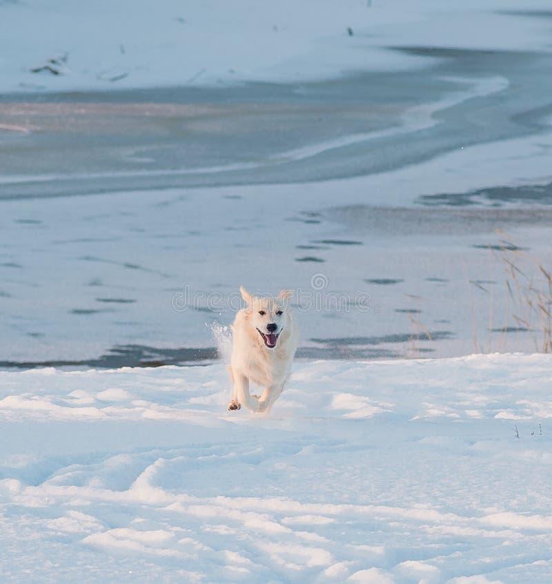 Download Het Golden Retriever Loopt In De Sneeuw Stock Foto - Afbeelding bestaande uit sprong, actief: 107700568