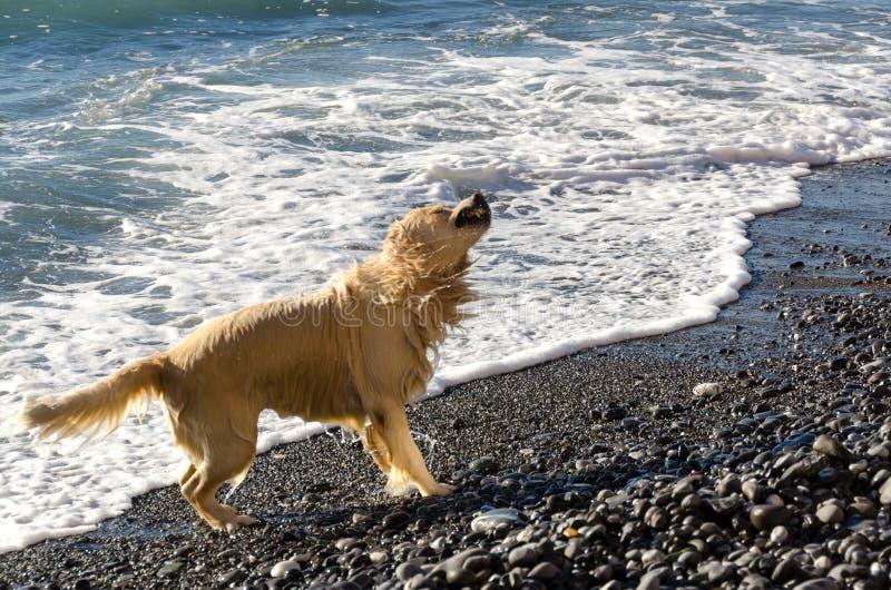 Het golden retriever van de honingskleur in de golven van het overzees stock afbeeldingen