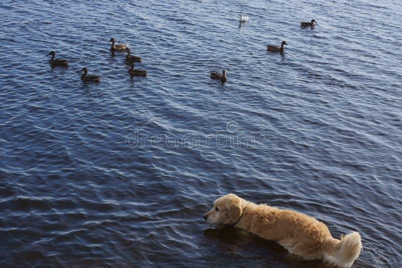 Het golden retriever van het hondras komt in een meer met het drijven eenden stock afbeelding
