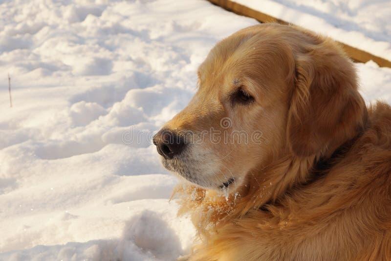 Het golden retriever van het hondras ligt op sneeuw in de winter royalty-vrije stock foto