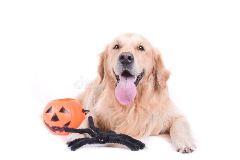 Het golden retriever van Labrador voor witte geïsoleerde studio stock afbeelding