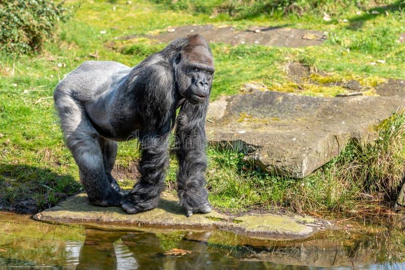 Het gorillamannetje kijkt zeer ernstig royalty-vrije stock fotografie