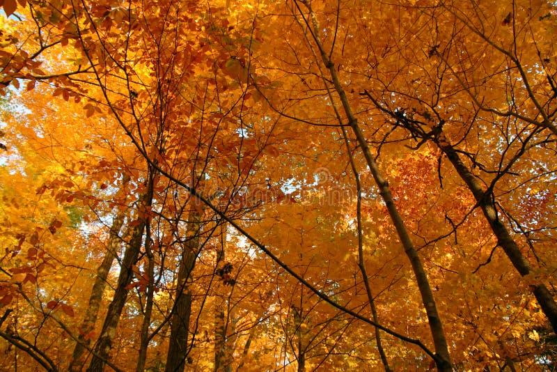 Het gouden bos van Oktober stock afbeeldingen