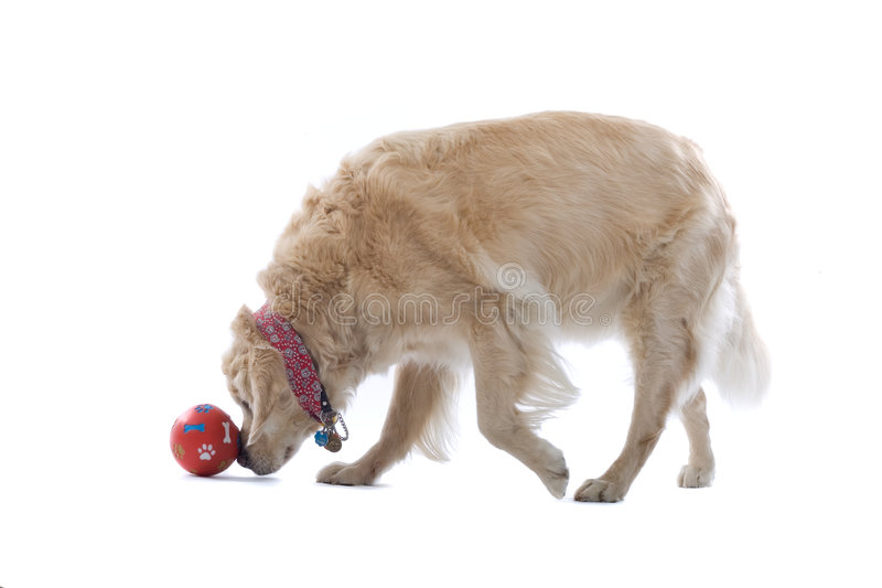 Het gouden de hond van de Retriever spelen royalty-vrije stock afbeeldingen