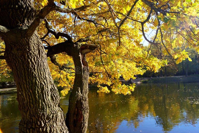 Het gouden gebladerte van de de herfst eiken oever van het meer royalty-vrije stock fotografie