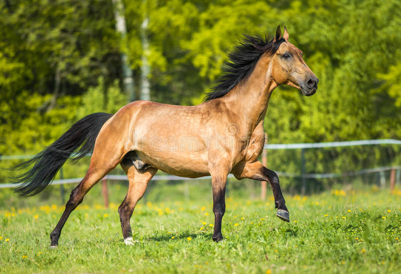 Het gouden het paard van baaiakhal -akhal-teke spelen op de weide stock fotografie
