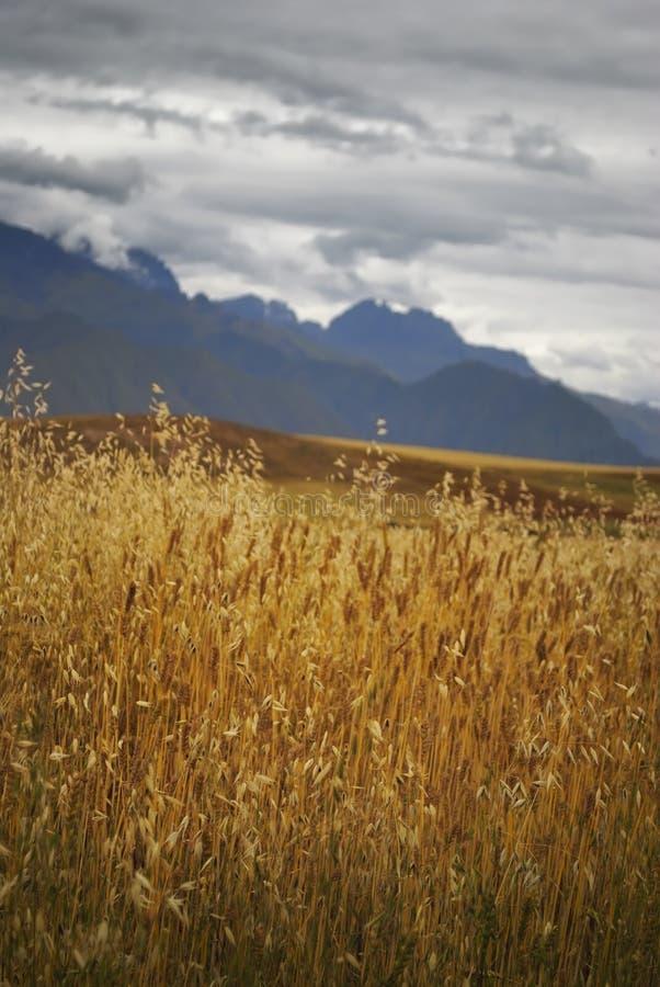 Het gouden licht heldert omhoog dit landschap van het tarwegebied met dramatische bergachtergrond op royalty-vrije stock fotografie