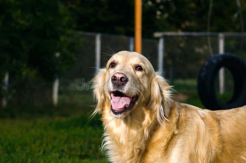 Het gouden portret van de retrieverhond royalty-vrije stock foto