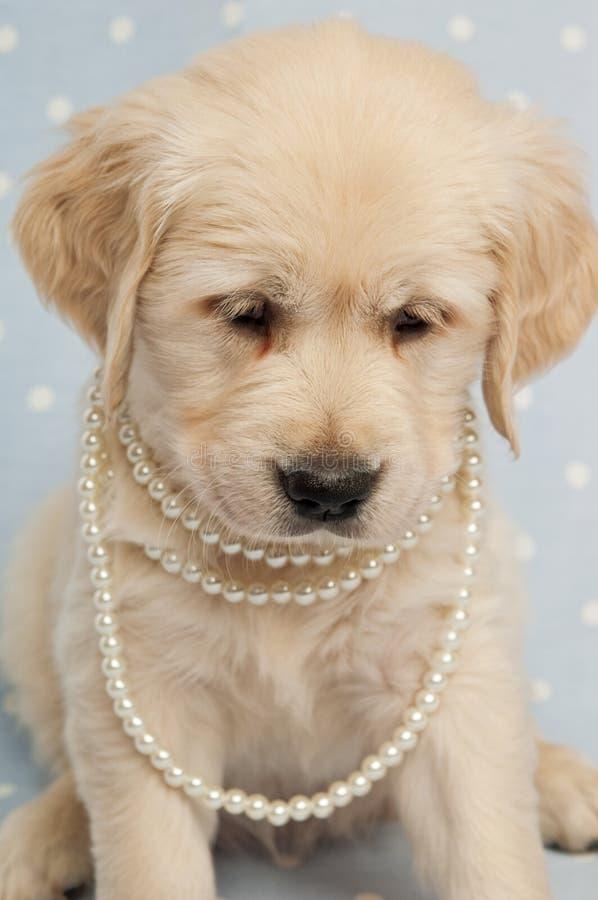 Het gouden Puppy van de Retriever royalty-vrije stock afbeeldingen