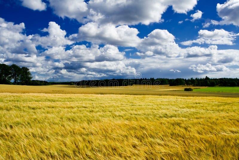 Het gouden rijpe land van het gerstgebied stock foto
