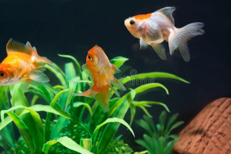 Het gouden vissen of goudvis het drijven zwemmen onderwater in verse aquariumtank met groene installatie stock foto