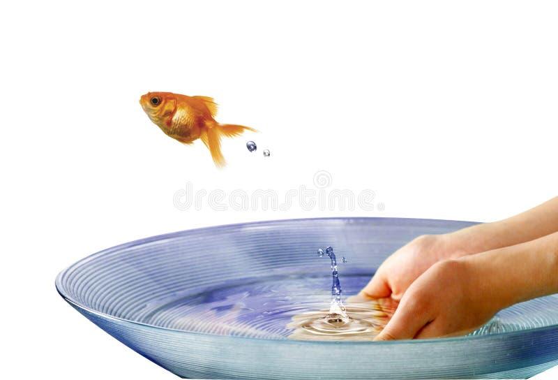 Het gouden vissen springen royalty-vrije stock afbeelding