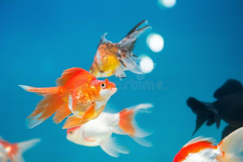 Het gouden vissen zwemmen royalty-vrije stock afbeeldingen