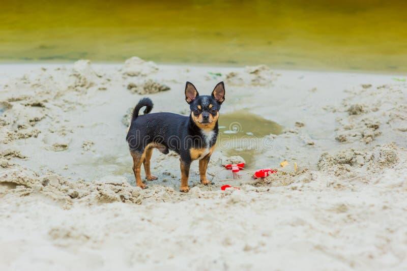 Het grappige chihuahuahond stellen op een strand royalty-vrije stock foto's