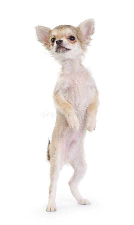 Het grappige chihuahuapuppy geïsoleerdd opstaan stock fotografie