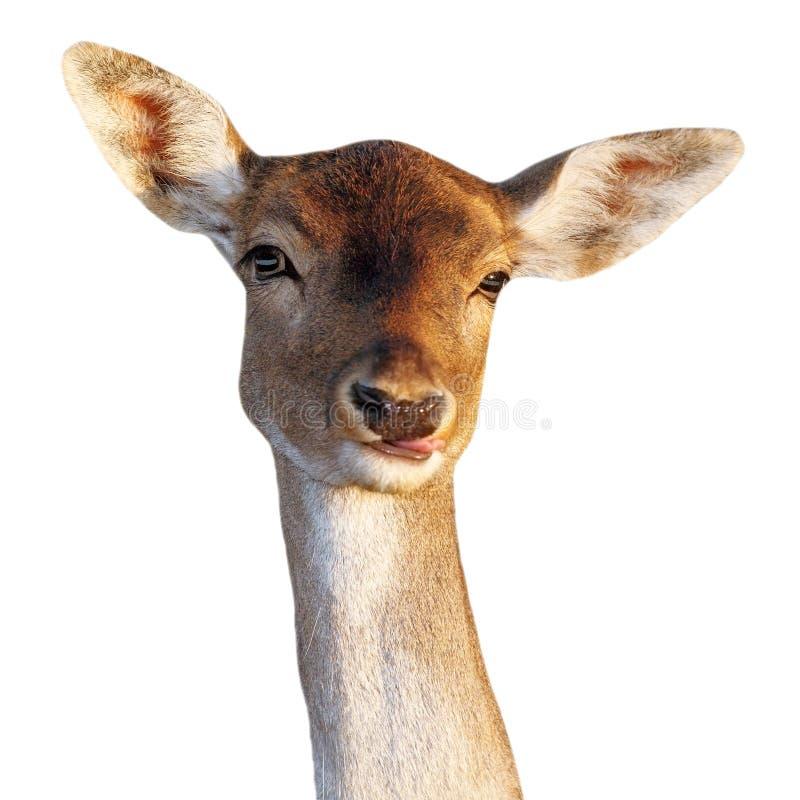Het grappige gezicht van de damhertendamhinde stock fotografie