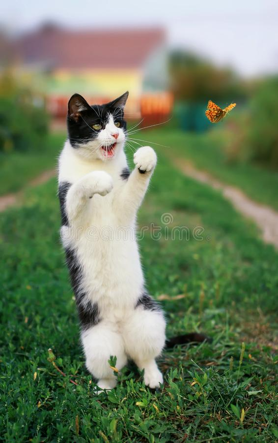 het grappige katje in een de zomer zonnige tuin vangt een vliegende oranje vlinder springend op zijn achterste benen in duidelijk royalty-vrije stock afbeelding