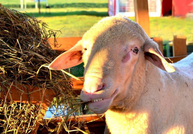 Het grappige lam eet hooiclose-up op het landbouwbedrijf stock foto's