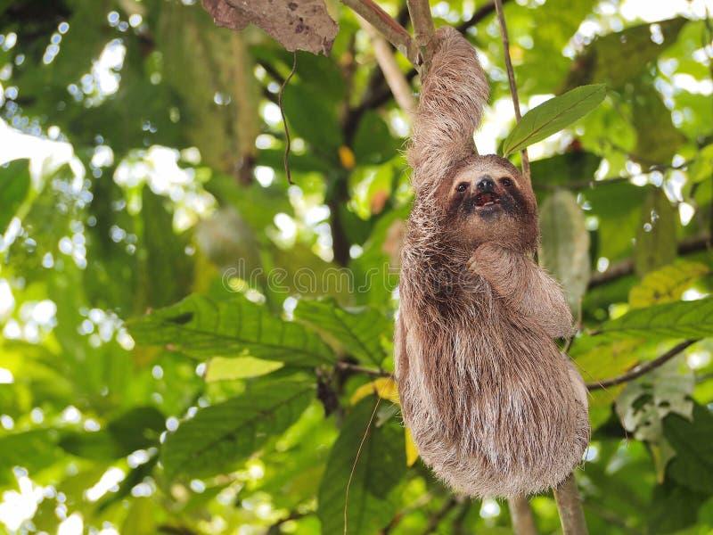 Het grappige luiaard hangen van een tak in de wildernis stock afbeelding