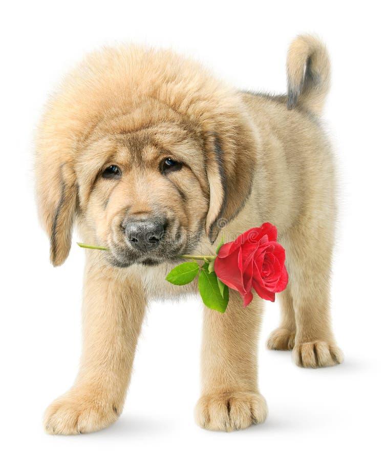 Het grappige puppy met rood nam toe stock afbeeldingen
