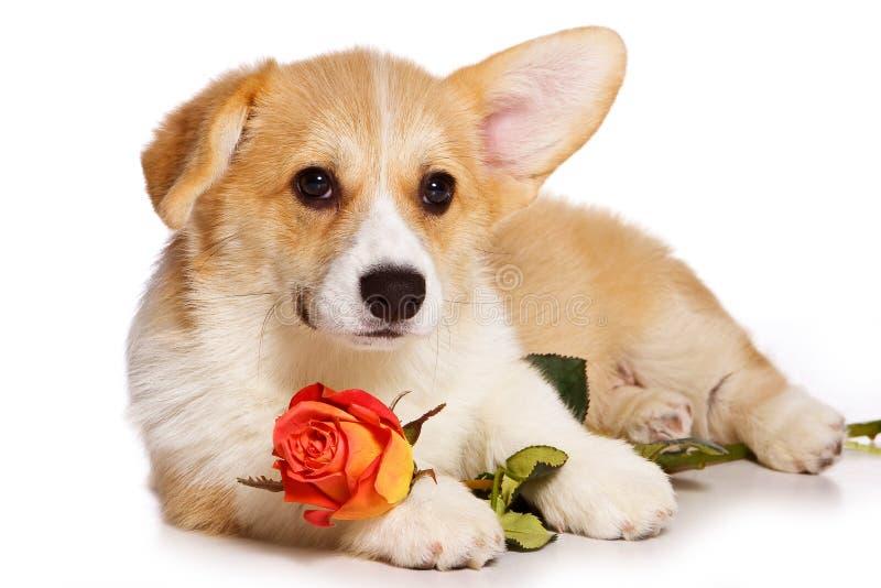 Het grappige puppy van roodharige Welse corgi pembroke en nam bloem toe stock afbeeldingen