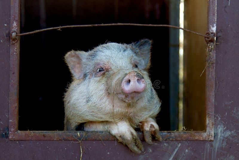 Het grappige varken in het landbouwbedrijf stock fotografie