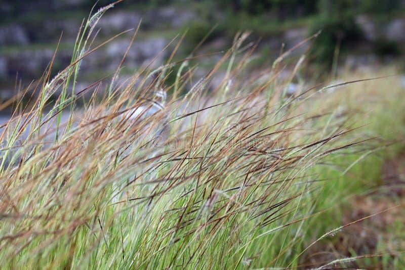 Het gras, de wind het gebieds van het van het Achtergrond bloemgras ochtendgras blies zacht geraakte weide dicht scène, het groen royalty-vrije stock afbeelding