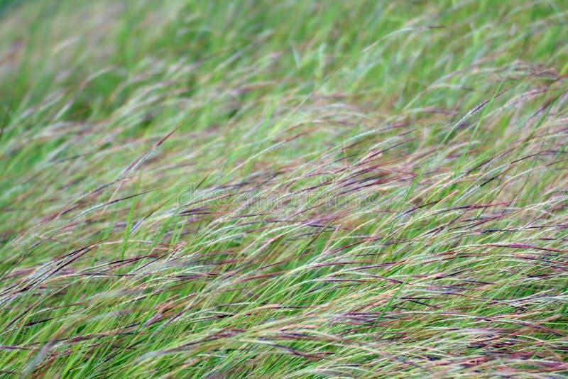 Het gras, de wind het gebieds van het van het Achtergrond bloemgras ochtendgras blies zacht geraakte weide dicht scène, het groen stock foto's
