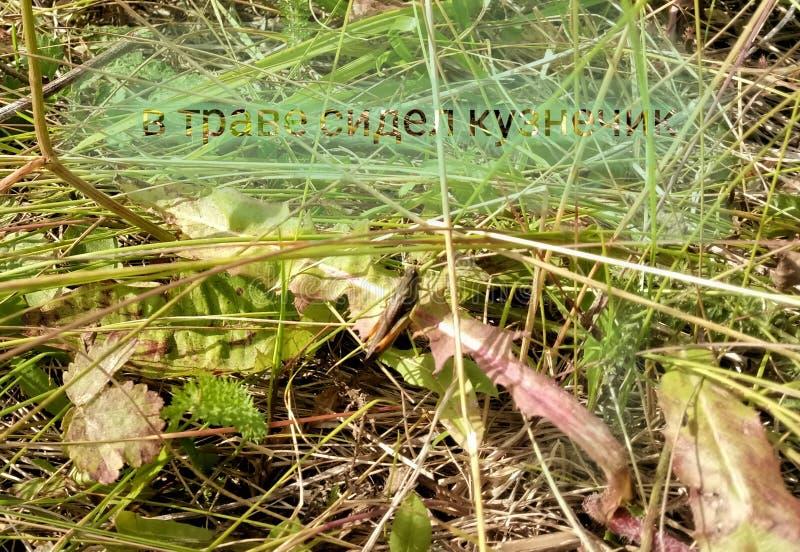 In het gras gezeten de sprinkhaan stock foto's