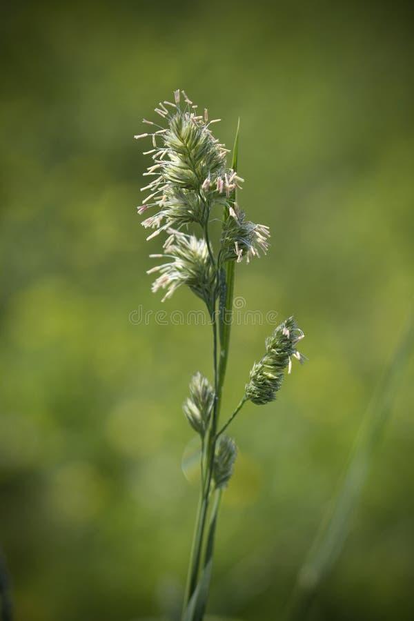 Het Gras van de Kanarie van het riet - arundinacea Phalaris stock afbeelding
