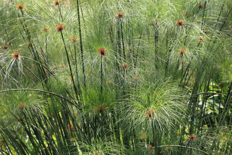 Het gras van de papyrus stock foto's