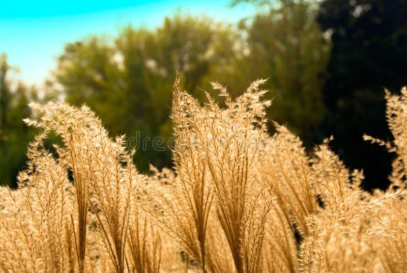Het gras van de prairie stock afbeelding
