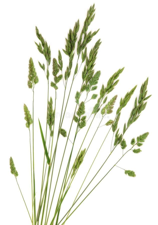 Het Gras van de rogge royalty-vrije stock afbeelding