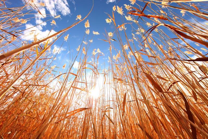 Het Gras van de tarwe in openlucht op een Zonnige Dag stock afbeeldingen