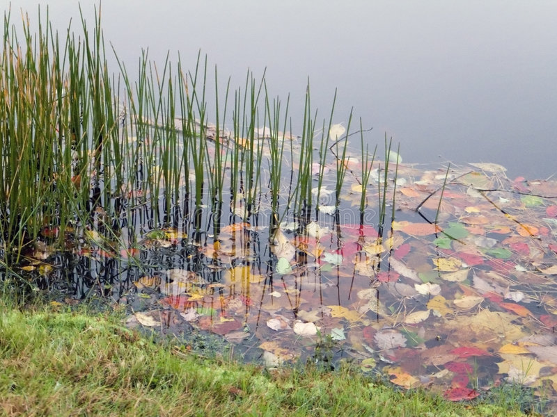Het Gras van de vijver stock foto