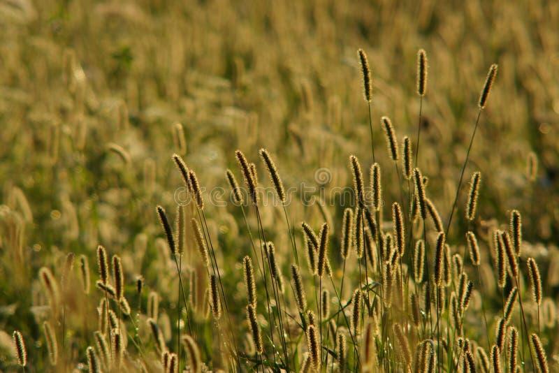 Het gras van de vossestaart stock foto