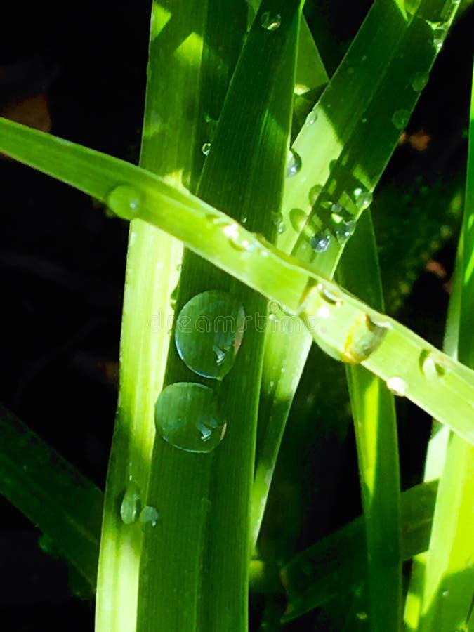 Het gras van de waterregen stock fotografie