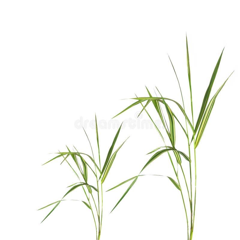 Het Gras van het bamboe stock afbeeldingen