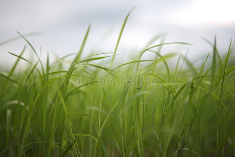 Het Gras van het gras stock afbeeldingen
