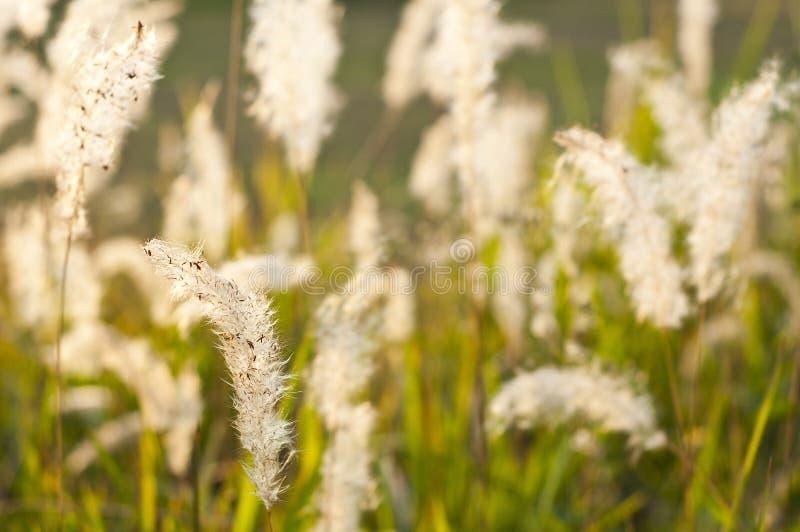 Het grasbloem van de vossestaart. stock fotografie
