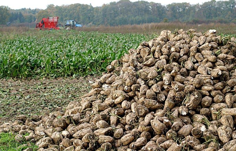 Het graven van suikerbieten stock afbeelding